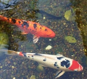 koi fish need proper water filtration
