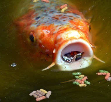 Why is my koi swimming upside down sideways pond informer for Koi fish parasites