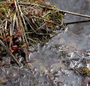 leeches feed on sludge and algae
