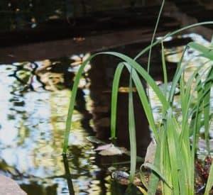 black pond water