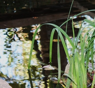 Pond Water Can Simply Look Black Due To Surface Reflection But Also Be Caused By A Build Up Of Waste And Bad Bacteria