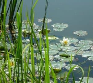 Koi Spring Pond Maintenance