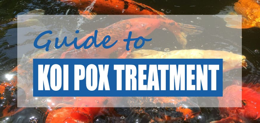 Koi carp pox treatment prevention guide updated pond for Koi treatment