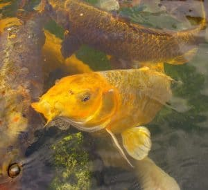Two large orange koi feeding after exiting winter torpor