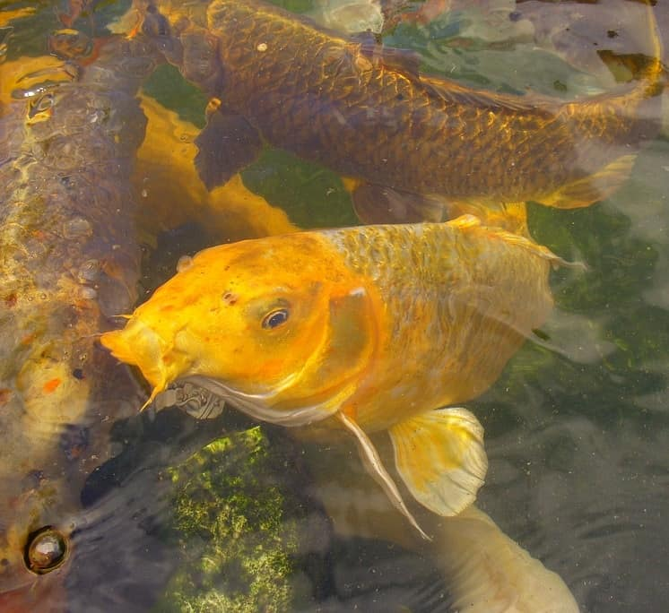 When to start feeding koi after winter best spring foods for Koi feeding