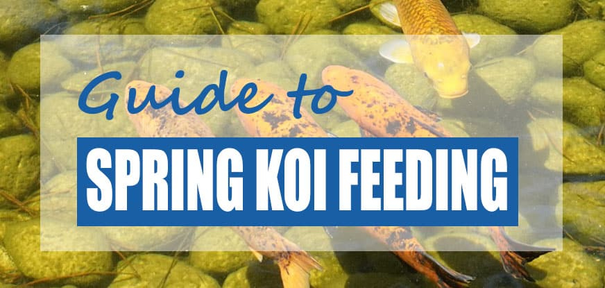 when to feed koi after winter