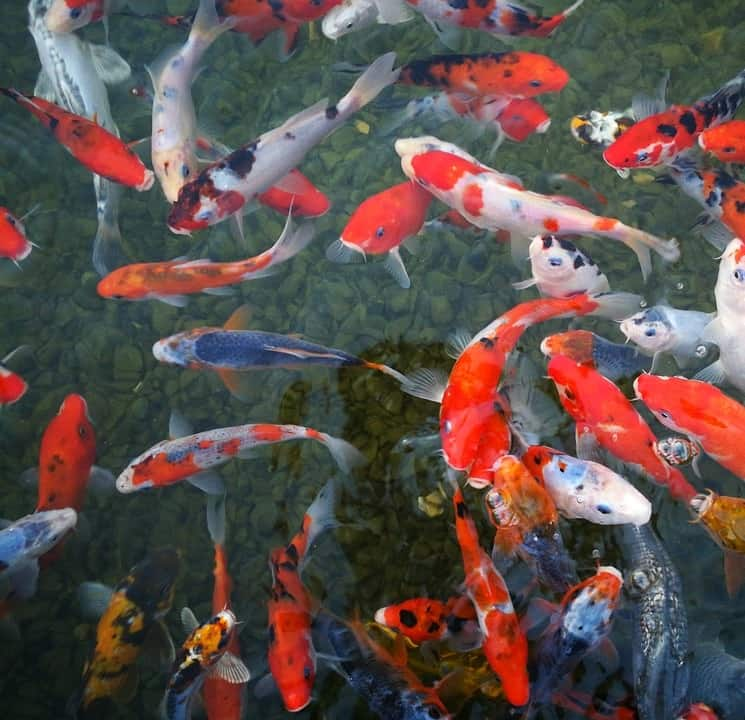 Guide to koi pond water changes fish safe tips pond for Koi fish pond help