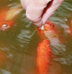 The best goldfish pond food