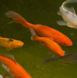 are koi or goldfish better for ponds