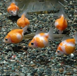 Fancy Goldfish Such As Pearlscales Pictured Can Be Kept In Small Ponds Or Large Aquariums Due To Their Size