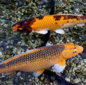 1 Ornamental Koi Carp