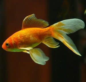 An orange and white veiltail goldfish