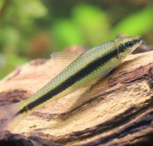 how to control algae with siamese algae eater fish