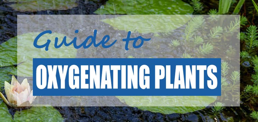 The best oxygenating pond plants top 8 plant species for Oxygenating plants for fish ponds