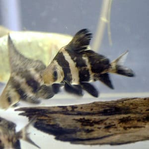 control algae with a chinese high-banded shark