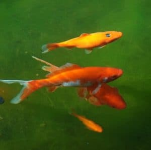 will koi goldfish eat algae in ponds