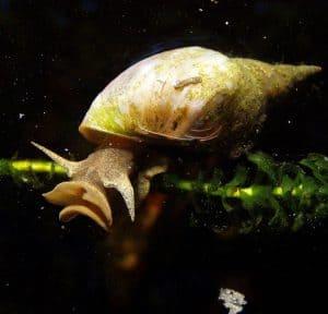 a great pond snail