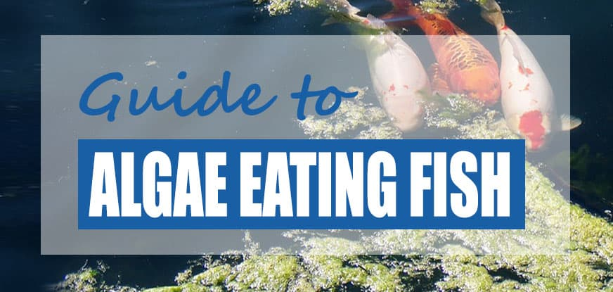list of pond fish that eat algae