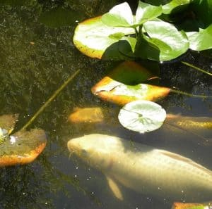 top oxygenating plants for koi goldfish ponds