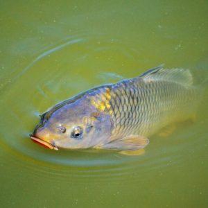 fish that eat algae