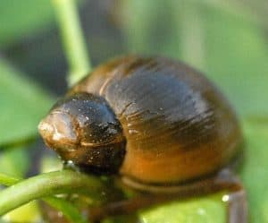 wandering pond snail are snails good for ponds