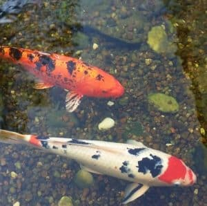 koi carp eat mosquito larvae in ponds