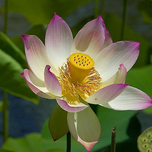 pink and white water lotus in bloom