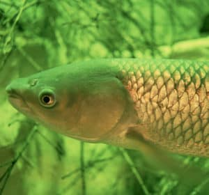 grass carp pond algae eater