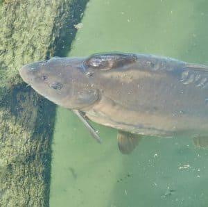 how long do wild carp live