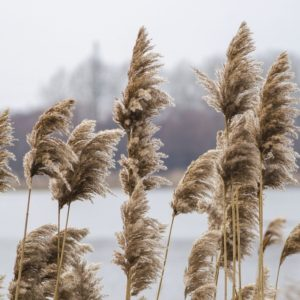 how to get rid of phragmites invasive reed grass
