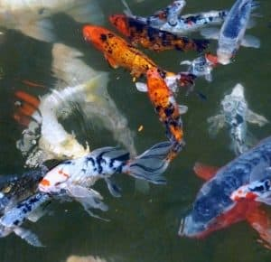 large fish stock benefits from bottom drain