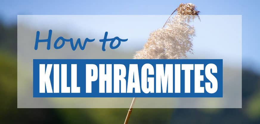 How to get Rid of Phragmites in Ponds