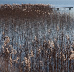 how to kill phragmites in lakes and ponds