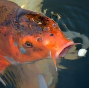 what do koi fish eat