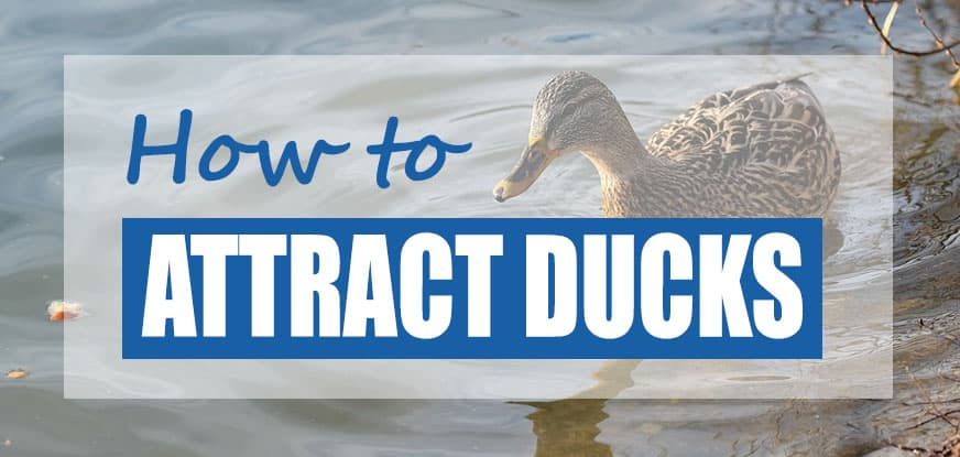 How To Attract Wild Ducks to Ponds