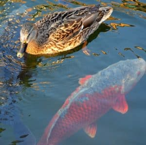 duck in fish pond decreases water quality
