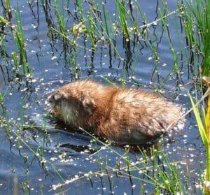 muskrat creates nest in pond