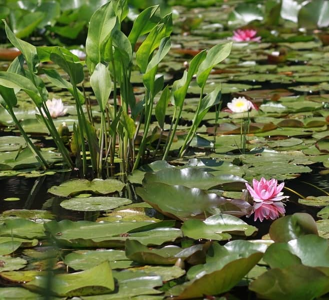 ponds in summer have less dissolved oxygen due to increase plant, algae, and bacterial growth