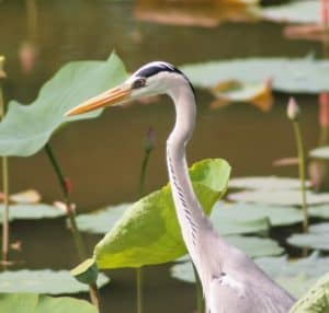 pond predators heron