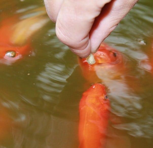 homemade koi goldfish food pellets