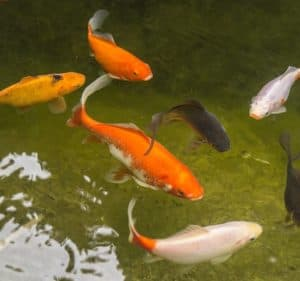 how long do goldfish live in ponds