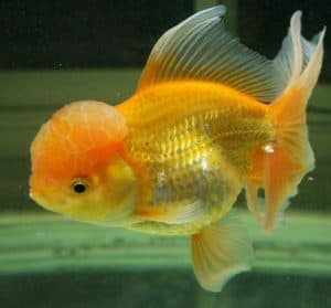 fancy goldfish have shorter lifespans than common goldfish
