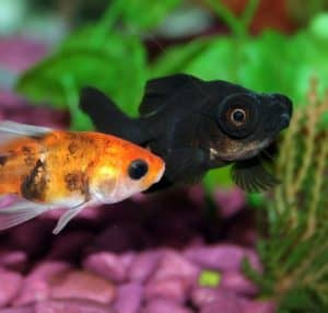 telescope eye goldfish more prone to infections