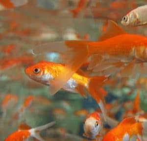 goldfish breed rapidly