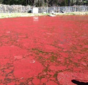 euglena algae red algae in a pond very toxic