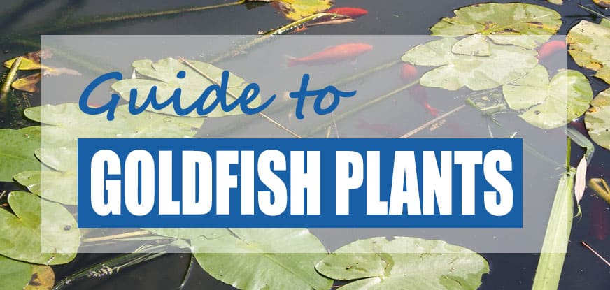 The Best Goldfish Plants For Ponds