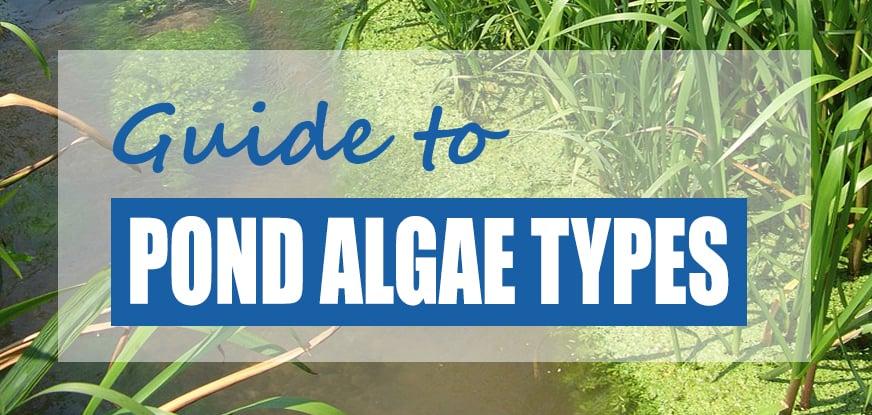 Different Types of Pond Algae