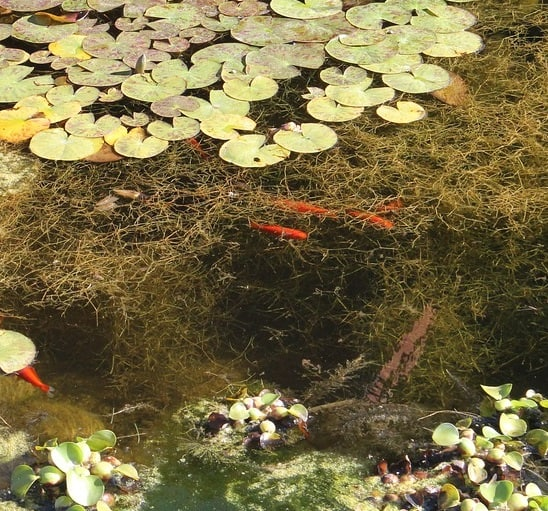 Submerged and floating plants oxygenate a koi pond