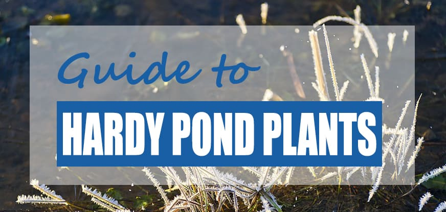 The Best Winter Hardy Pond Plants