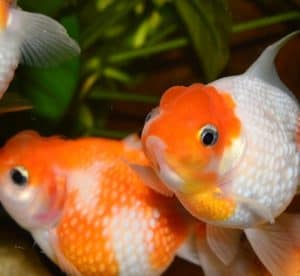 Fancy white and orange goldfish